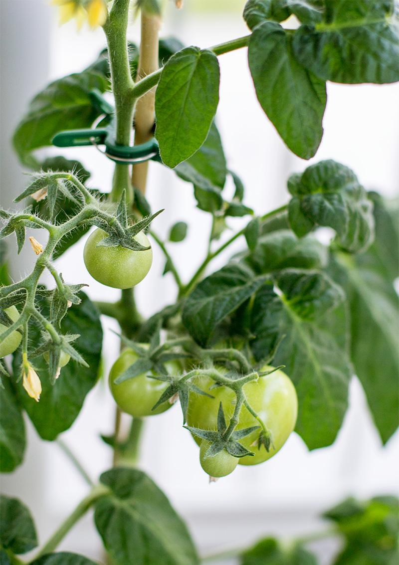 Tomatodling på balkongen